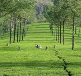 Tea plantations in Munnar, India. Jon Brew/Flickr. (CC BY-NC-ND 2.0)
