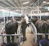 Ban on Cattle Sale