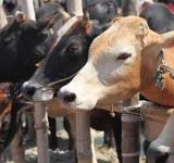Cow Slaughter