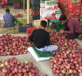 kashmir apple traders